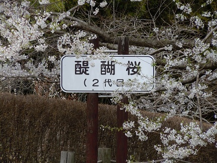 01 醍醐桜 二代目醍醐桜1.JPG