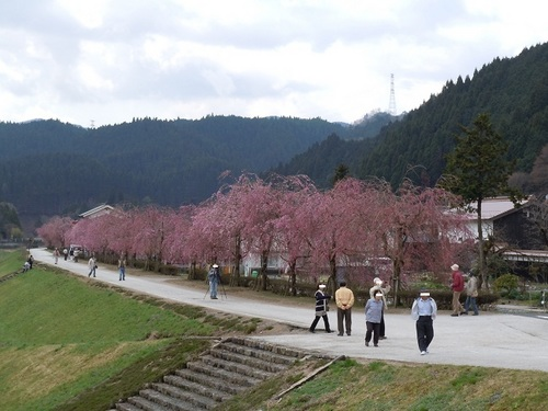 02 がいせん桜 河川敷・枝垂れ桜1.JPG
