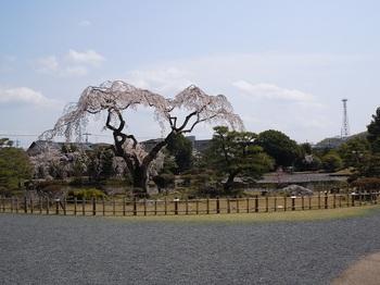 02 衆楽園 糸桜.JPG