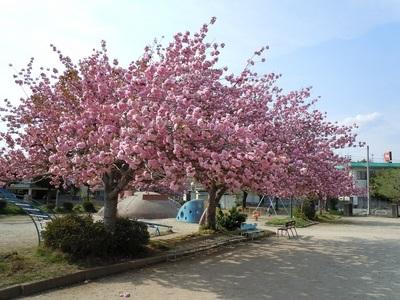 06 城西児童公園 八重桜1.JPG
