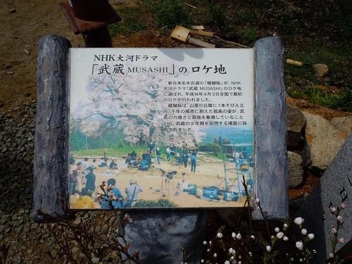 06 醍醐桜 NHK大河ドラマロケ地.JPG