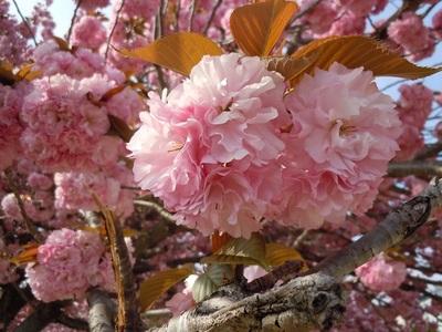 07 城西児童公園 八重桜2.JPG