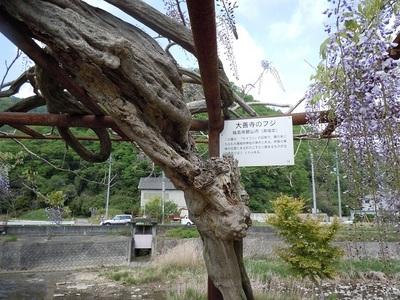 10 和気町 藤公園(福島・大善寺の藤 幹).JPG