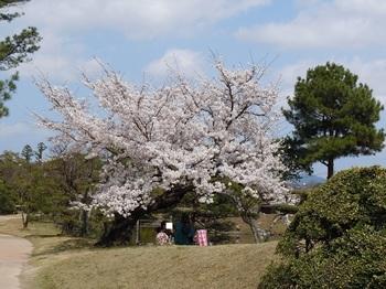 衆楽園 桜の下で.JPG